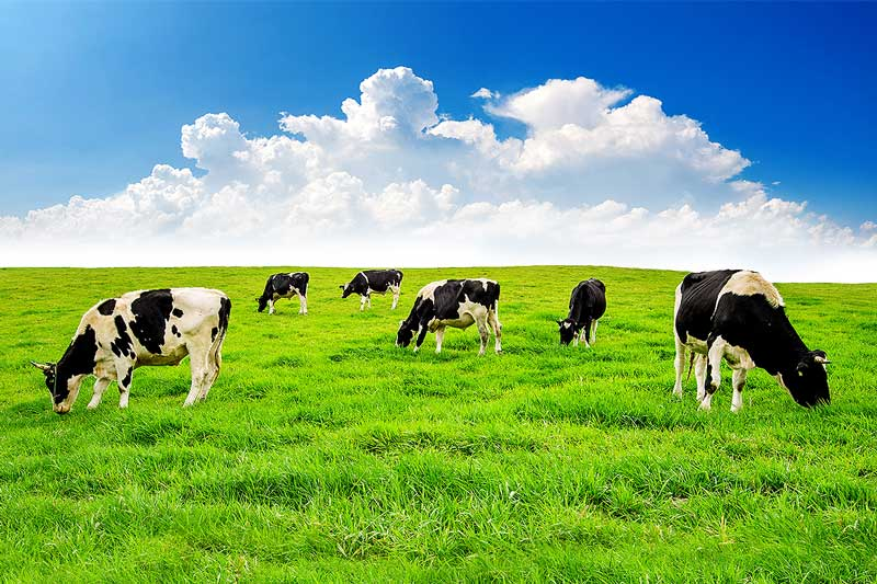Dairy Financing (Image of dairy cows grazing in a green field)