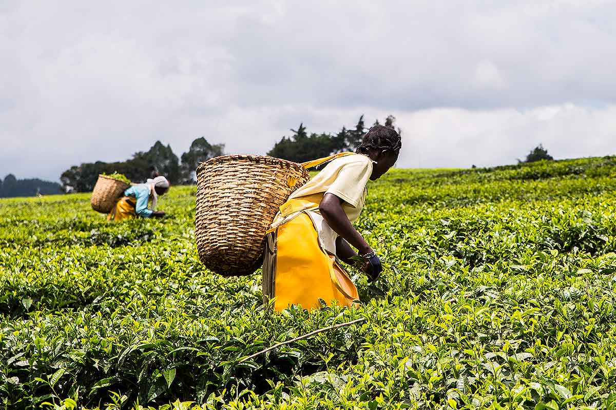 Tea Sector Loans (Featured)